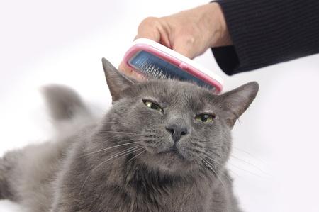 Mooie Russische blauwe kat vindt het heerlijk om geborsteld Stockfoto