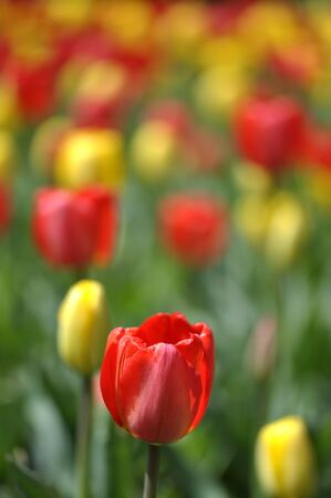 Closeup of red tulip with blurred background of field of tulips