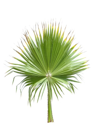 Single green frond of fan palm isolated on white Stock Photo