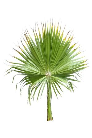 Single groene varenblad van de ventilator palm op wit wordt geïsoleerd
