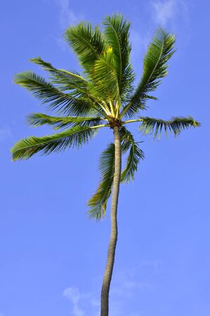 Castrated coconut palm with blue sky background