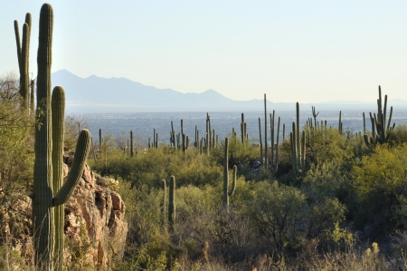 Valley of Tucson, Arizona as seen from saguaro cactus covered hills