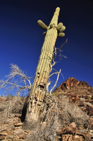 Old saguaro cactus on rocky desert hill with deep blue sky photo