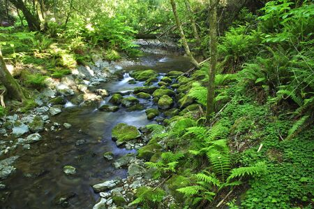 muir: Beautiful quiet stream and ferns in Muir Woods forest