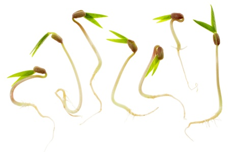 Closeup of seven mung bean sprouts isolated on white background