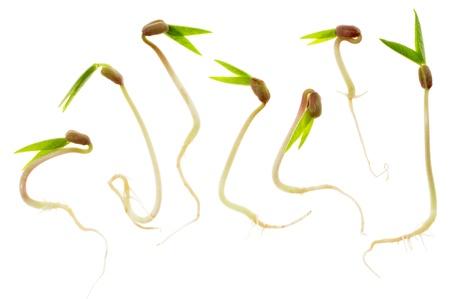 germinación: Primer plano de siete brotes de frijol mungo aisladas sobre fondo blanco