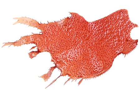 Flat spiny red marine algae isolated on white  Zdjęcie Seryjne