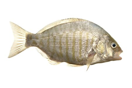 caudal fin: Fresh caught barred surf perch isolated on white Stock Photo