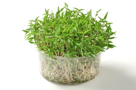 mung: Plastic container of growing mung bean sprouts on white background Stock Photo