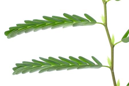 tamarindo: Primer plano macro de hojas de árbol de tamarindo en el fondo blanco Foto de archivo