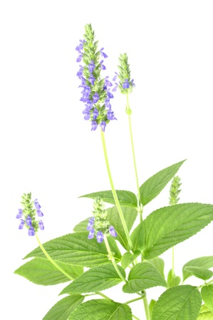 white salvia: Beautiful purple flowering chia plant on white background