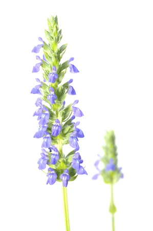 Closeup of purple chia flower stalk on white background