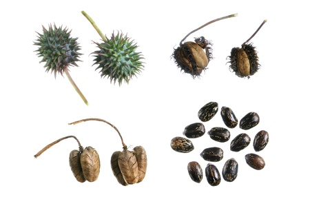 propagation: Four stages of seed propagation from green capsule to dry released seeds