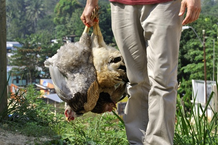 khakis: Close up of unidentified man carrying two chickens by the feet in a tropical village