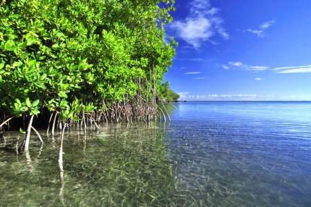 estuary: Mangroves growing in shallow lagoon in the bay of Isla Culebra in Puerto Rico