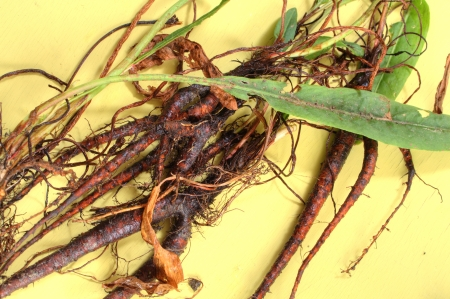 entire: Entire harvested plants of yellow curly dock (Rumex) with roots, stems and leaves on yellow table Stock Photo