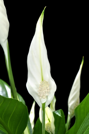 spadix: Closeup of beautiful white Spathiphyllum peace lily flower on black background