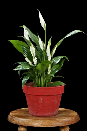 peace lily: Beautiful Spathiphyllum peace lily blooming in red pot on black background Stock Photo