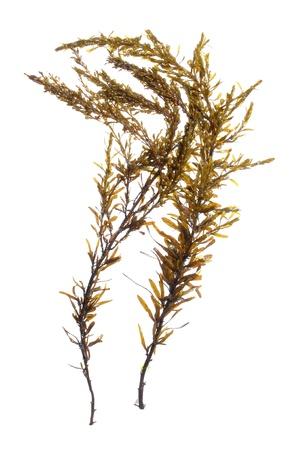 Twee takken van bruine Japanse wireweed Sargassum muticum zeewier geïsoleerd op wit