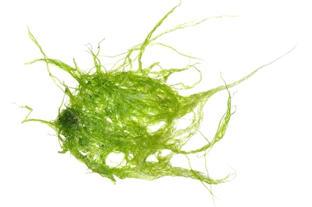 algae: Macro closeup of strands of green tuft marine algae isolated on white Stock Photo