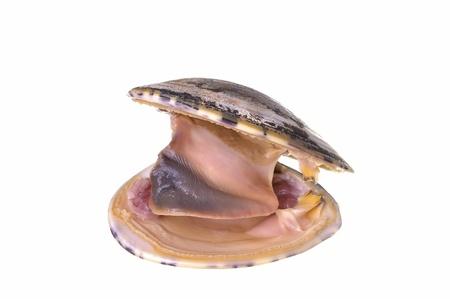 Large fresh and open Tivela stultorum pismo clam isolated on white Banco de Imagens - 19760644
