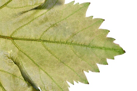Macro closeup of tip of grape leaf showing intricate vein detail on white background Reklamní fotografie - 20315813