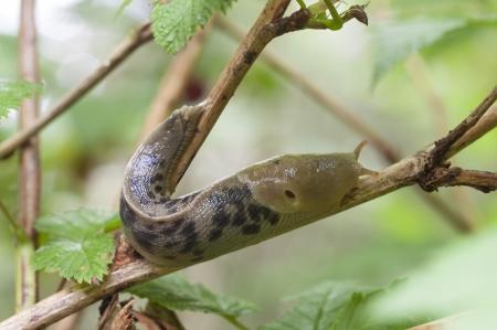 Closeup of Ariolimax columbianus banana slug crawling on branch in southeast Alaska forest