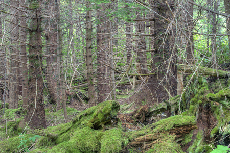 Dense pine forested woods, barren branches, and moss growing on fallen timber on Baranof Island in southeast Alaska Stock Photo - 23415185