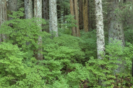 Beautiful green huckleberry bushes in dense forest near Sitka on Baranof Island in southeast Alaska Stock Photo - 23415481