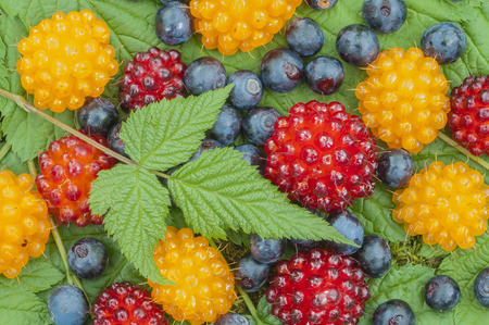 anti oxidants: Closeup of assortment of wild blueberries and salmon berries on leaves