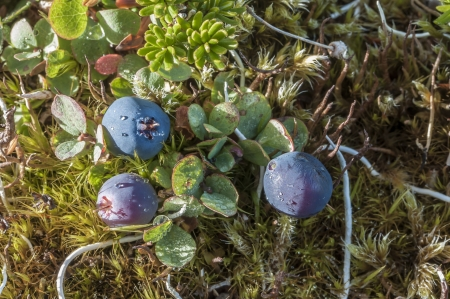 ground cover: Closeup of Vaccinium uliginosum bog blueberry with ripe fruit among ground cover on Alaskan mountain