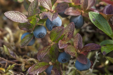 Macro closeup of Vaccinium uliginosum bog blueberry featuring reddened leaves and ripe fruit