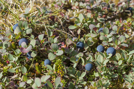 Botanical carpet of plants including Vaccinium uliginosum bog blueberry with ripe blue fruit on southeast Alaska mountain