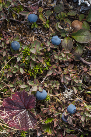 Wild Alaskan ground cover including bog blueberry with ripe fruit Zdjęcie Seryjne