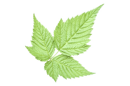rubus: Perfect trifoliate leaf form of Rubus spectabilis salmonberry bush isolated on white Stock Photo