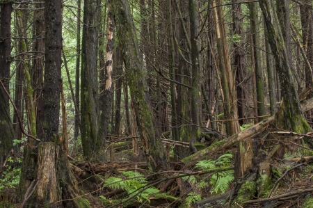 Dense wooded pine rain forest with fallen and cut timber and ferns on ground in southeast Alaska Stock Photo - 23482772