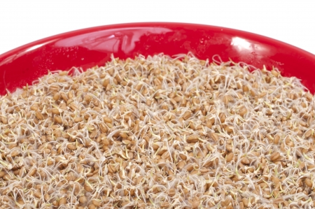 Macro closeup bowl of sprouted wheat berries featuring green stems and root hairs on white background