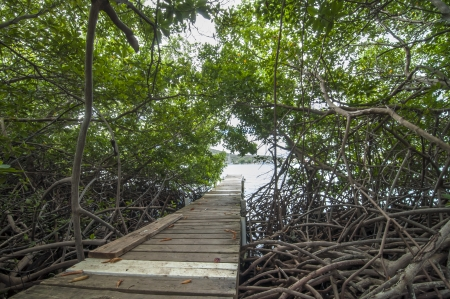 mangrove forest: Small wooden plank dock extends into tropical bay through shady mangrove forest in Ensenada Honda in Isla Culebra, Puerto Rico