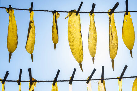 kelp: Two horizontal lines of rope with clothespins holding fresh whole kelp blades drying in sun with clear blue sky background