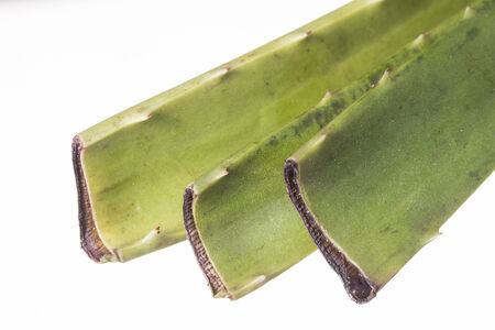 Macro closeup on white background of cut ends of three aloe vera cuttings scabbed over and ready for planting