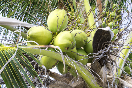 Closeup of large cluster of young green coconuts on palm tree photo