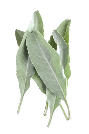 white salvia: Closeup of small pile of five fresh white sage Salvia apiana leaves isolated on white background Stock Photo
