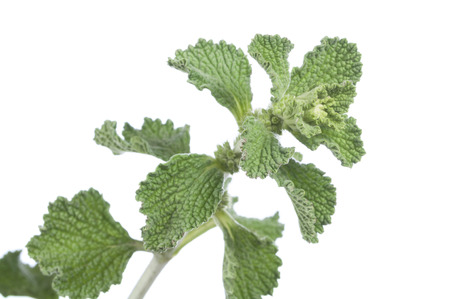 Closeup of branch of fresh horehound Marrubium vulgare herb on white background Stock Photo