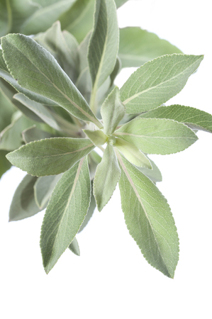 white salvia: Closeup of fresh white sage Salvia apiana branch on white background Stock Photo