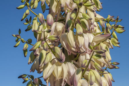chaparral: Closeup of inflorescence of chaparral yucca Hesperoyucca whipplei with creamy yellow flowers on blue sky background Stock Photo
