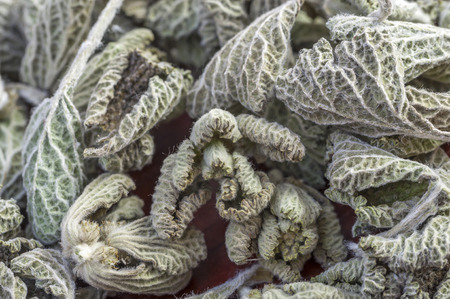 vulgare: Macro closeup of dried Marrubium vulgare horehound medicinal herb leaves