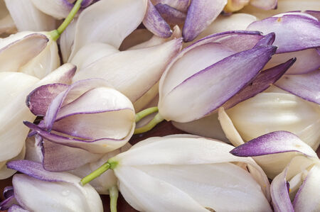 chaparral: Macro closeup of pile of fresh picked chaparral yucca Hesperoyucca whipplei flowers Stock Photo