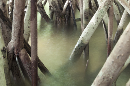 Closeup of mangrove roots entering shallow bay waters in Chetumal, Mexico photo