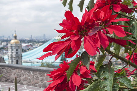 our: Beautiful red poinsettias growing on Tepeyac Hill with the Basilica of Our Lady of Guadalupe in background Stock Photo