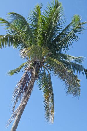 nucifera: Cocos nucifera cocotero con fondo de cielo azul